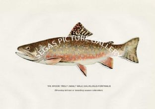 Brook Trout (Adult Male) Salvelinus-Fontinals